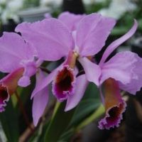 Cattleya percevaliana