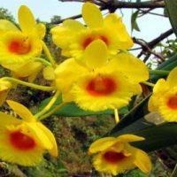 Dendrobium crysotoxum