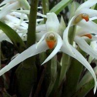 3281_maxillaria_splendens