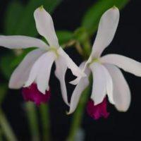 Cattleya intermedia var. aquinii x C. intermedia