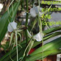 Angraecum giryamae x Ang. Longicalcar
