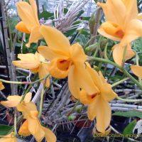 Dendrobium moschatum