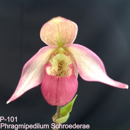 Phragmipedium schroederae