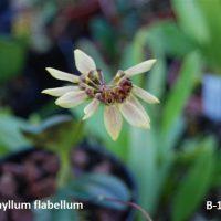 Bulbophyllum flabellum