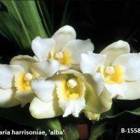 Bifrenaria harrisoiae Alba