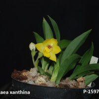 Prommenea xanthina