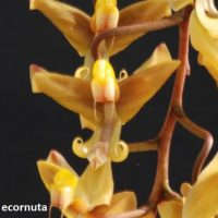 Gongora ecornuta