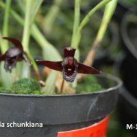 Maxillaria schunkiana