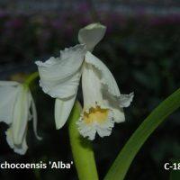 Cattleya chocoensis