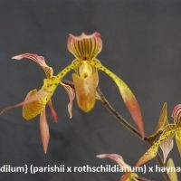 Paphiopedilum} (parishii x rothschildianum) x haynaldianum