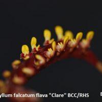 """Bulbophyllum falcatum flava """"Clare"""" BCC/RHS"""