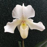 Paphiopedilum White Hybride