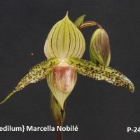 Paphiopedilum} Marcella Nobilé