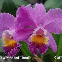 Cattleya} Winterland 'Floralia'